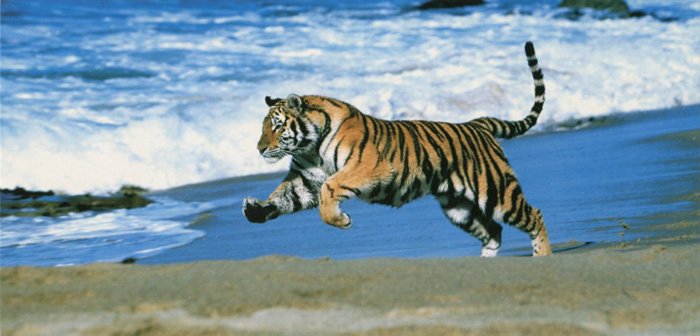 Running Tiger Archiwum Aquarupella Horizons