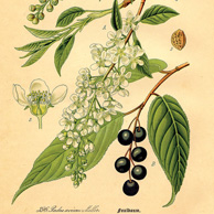 Prunus subg. Padus (bird cherries)
