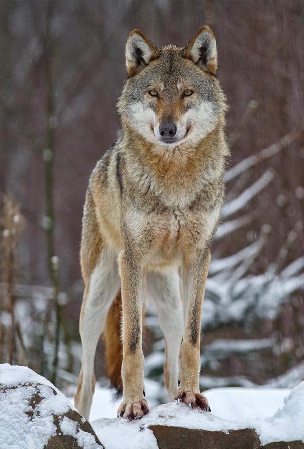 Wolf Other Animals Postcards Postallove Postcards