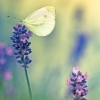Butterfly and lavender