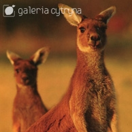 Galeria Cytryna - Kangaroo mother