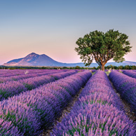 Lavender landscape with the tree
