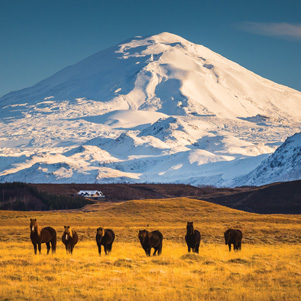 View of the Hekla volcano & Icelandic horses