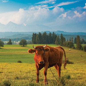 Poland - Love to be here... - Landscape with a cow, Pieniny Mountains