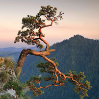 Poland - Love to be here... - Pieniny, Pine