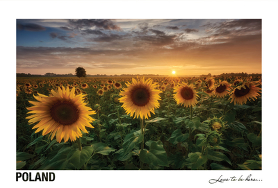 Poland - Love to be here... - Sunflowers field at sunset