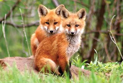 Two little foxes
