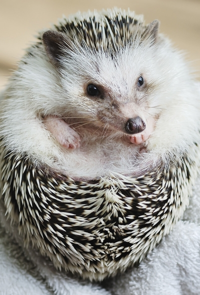 An African Pygmy Hedgehog