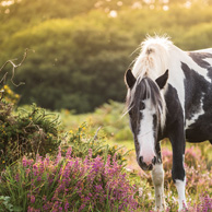Wild pony horse on the moor
