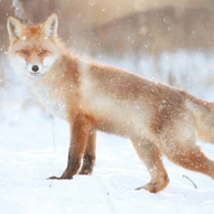 Fox in winter forest