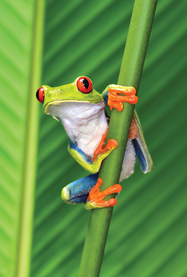 red eyed tree frog other animals postcards postallove