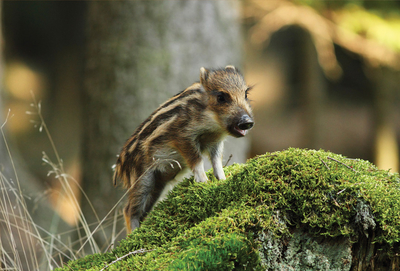 Spring young wild boar