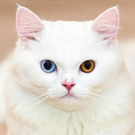 White cat with two colored eyes
