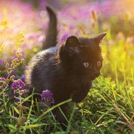 Black kitten in a flowering meadow