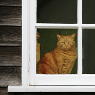 Ginger cat in the window