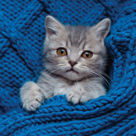 Gray kitten on a blue blanket