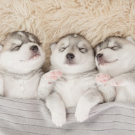Three sleeping dogs