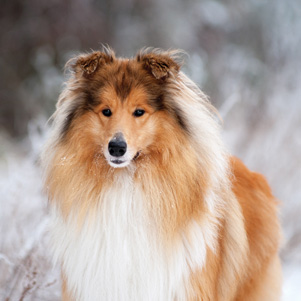 Winter Collie