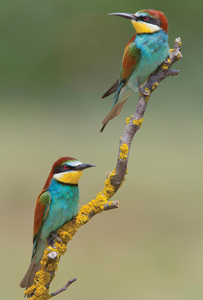 The colors of summer - bee-eater