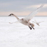 Above the clouds - Mute Swan