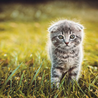 Gray kitten on the green grass
